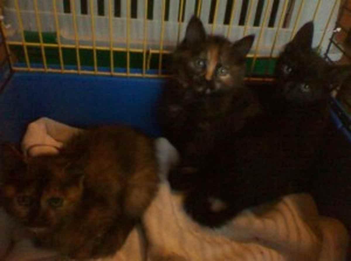 Ossona: i gattini Muffin, Pancake e BrunoNerocaffè cercano casa