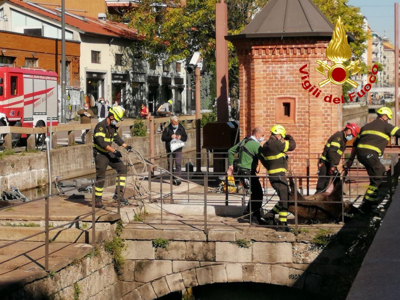 cinghiale Zampe di velluto - Il Cinghiale va in città e cade nel Naviglio. Salvato dai Vigili del fuoco 08/10/2020