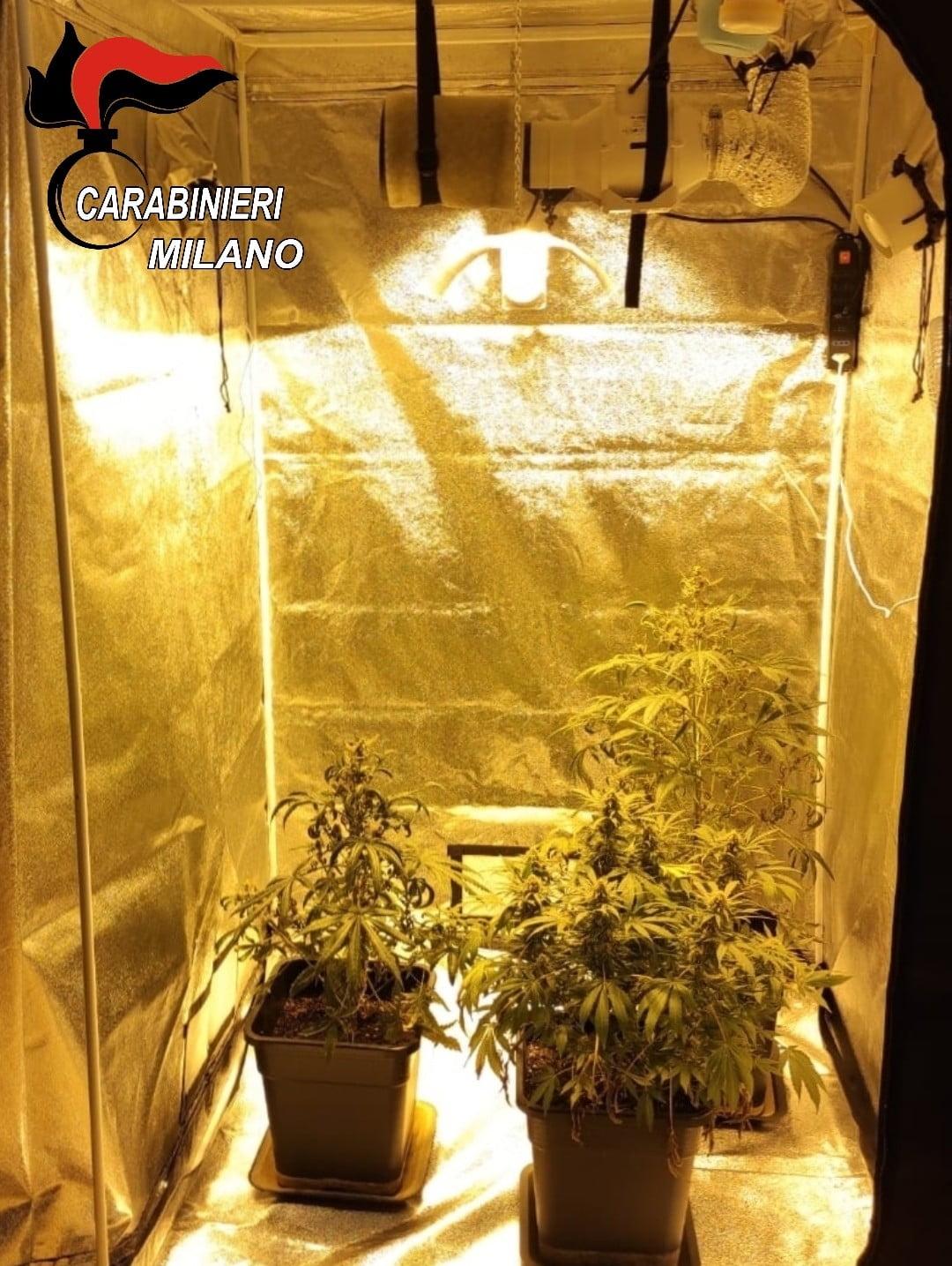 marijuana Cerro Maggiore - Coltivava marijuana in casa. Arrestato e appartamento sequestrato 10/12/2020